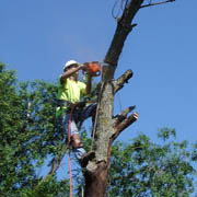 Topping Dead Elm Tree