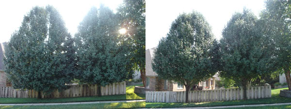 Tree Trimming 171 Tree Solutions Springfield Mo Tree Service