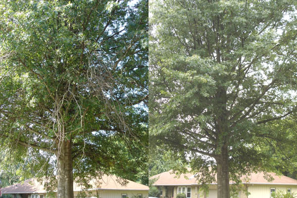 Pin Oak Tree crown cleaning